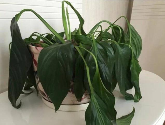 Полейте растения этим средством и они оживут через пару дней
