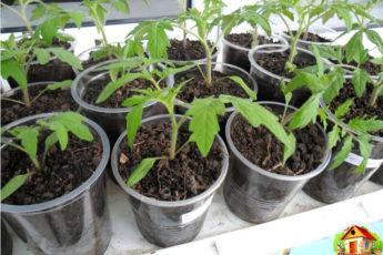 Рассаду помидоров поливают раствором йода для более быстрого роста
